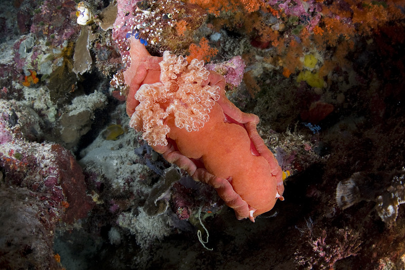 The spanish shawl nudibranch is one of the largest sea slugs in the world. This one was about 16 inches long, out crawling around the Wakatobi house reef during a night dive.