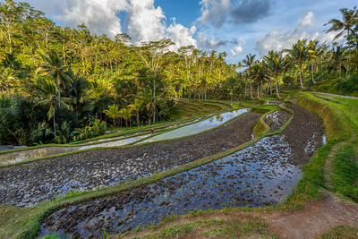 Rice terrace in Gunung Kawi, Bali, Indonesia.