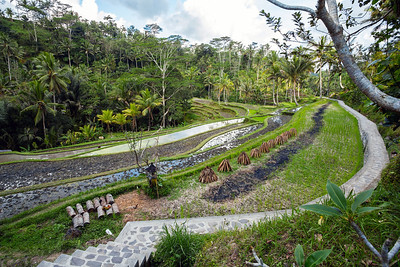 Rice terraced paddy fields in Gunung Kawi, Bali, Indonesia