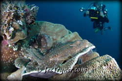 A diver videos a tassled wobbegong (Eucrossorrhinus dasypogon) sitting in a hard coral, Misokon, Raja Ampat, Indonesia, Indian ocean, Asia