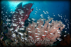 Pristine corals cover the reef slopes at Small / Tank rock - Batu kecil, Fiabacet, Misool, Raja Ampat, Indonesia, Indian ocean, Asia
