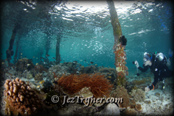 A diver photos in the shallows the coral growth around the pier at Airborek, Dampier strait, Raja Ampat, Indonesia, Indian ocean, Asia
