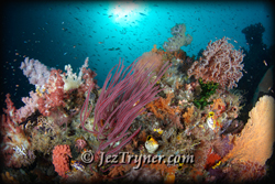 The coral that grows on the bommie at Whale rock create a stunning contrast with the blue water, Fiabacet, Misool, Raja Ampat, Indonesia, Indian ocean, Asia