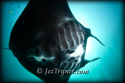 A manta ray (Manta birostris) glides over the cleaning station, Manta spa, Raja Ampat, Indonesia, Indian ocean, Asia
