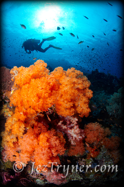 A diver swimming behind the stunning soft corals, sponges and huge sea fans that create a divers dream landscape at Crystal rock, Gili Lawalait, Indonesia, Indian ocean, Asia