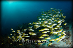 Schooling Blue-lined / 5 lined snapper (Lutjanus kasmira) above the reef, Misokon, Raja Ampat, Indonesia, Indian ocean, Asia