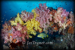 Quite possibly the most beautiful corals in the world are at the ridge at Boo island, Raja Ampat, Indonesia, Indian ocean, Asia