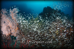 A glassfish explosion at Nudi rock creates some fantastic photo opportunities, Misool, Raja Ampat, Indonesia, Indian ocean, Asia