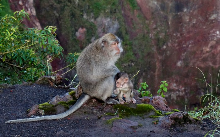 Monkeys atop Mount Batur, Indonesia.