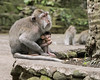 Young baby with mother crab-eating macaque (Macaca fascicularis), Monkey Forest, Ubud, Bali