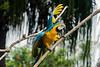Macaw, Bali bird park