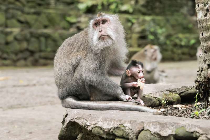 Mother crab-eating macaque and young baby (Macaca fascicularis), Monkey Forest, Ubud, Bali