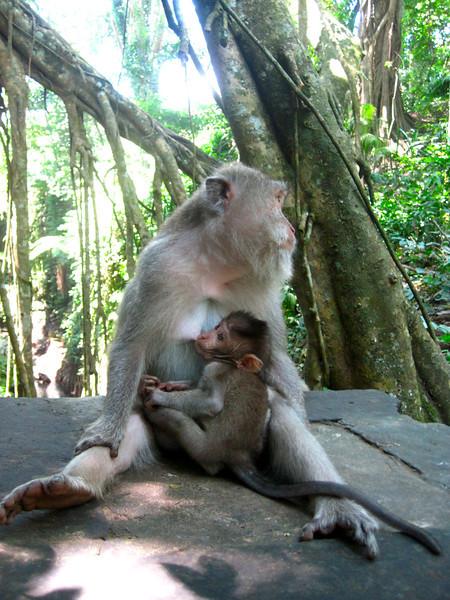 Monkey and baby, Bali