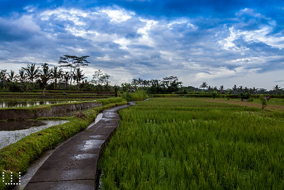 Rice paddies after rain