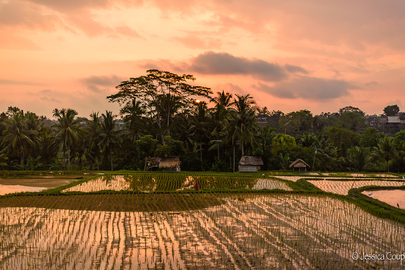Rice Fields Just Sprouting