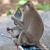 A monkey on a motorbike in the Sacred Monkey Forest of Padangtegal in Ubud, Bali, Indonesia in June 2011. The monkeys are long-tailed macaques (Macaca fascicuiaris).