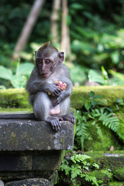A Monkey Forest macaque. Ubud.