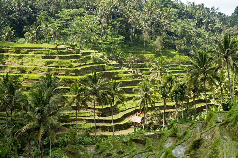 Thousand year old rice terraces. Bali.