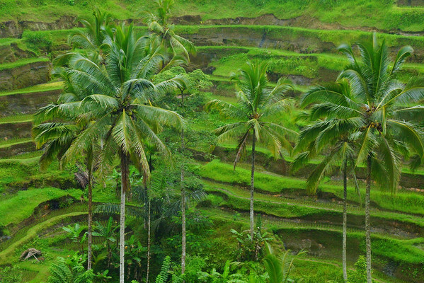 Visit the Tegalalang Rice Terraces