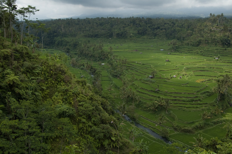 Rice Terraces, northern Bali