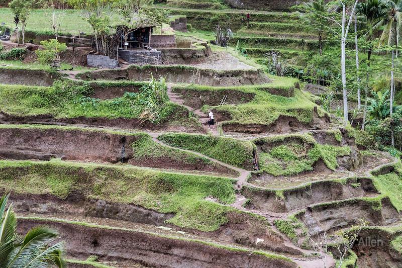 Man walking up the slopes of the Tegallalang Rice Terraces, Ubud, Bali