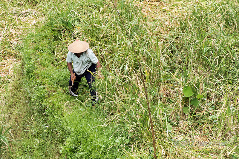 Farmer cutting ripe rice with a scythe 2, Tegallalang Rice Terraces, Ubud, Bali