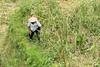 Farmer cutting ripe rice with a scythe 2, Tegallalang Rice Terraces, Ubud, Bali