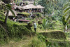 Rice terraces and tourists