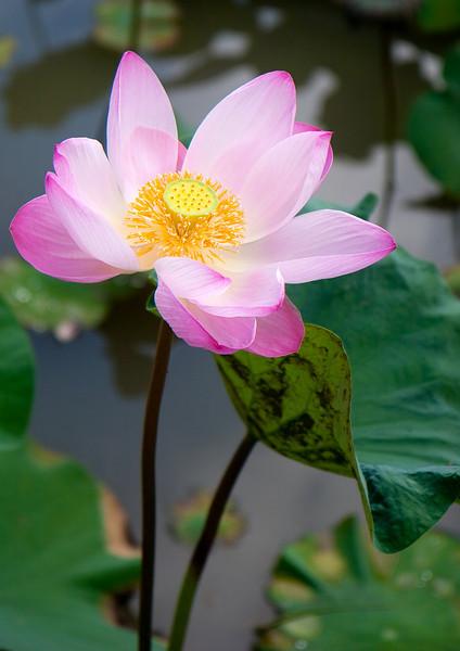 Lotus flower, Ubud, Bali, Indonesia
