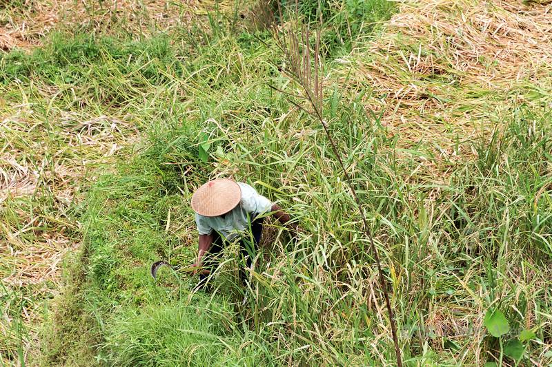 Farmer cutting ripe rice with a scythe, Tegallalang Rice Terraces, Ubud, Bali
