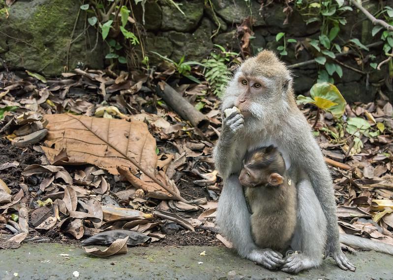 Crab-eating baby clinging to mother eating fruit, Monkey Forest, Ubud, Bali