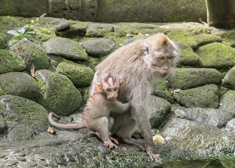 Crab-eating female macaque with baby foraging in a pond, Monkey Forest, Ubud, Bali