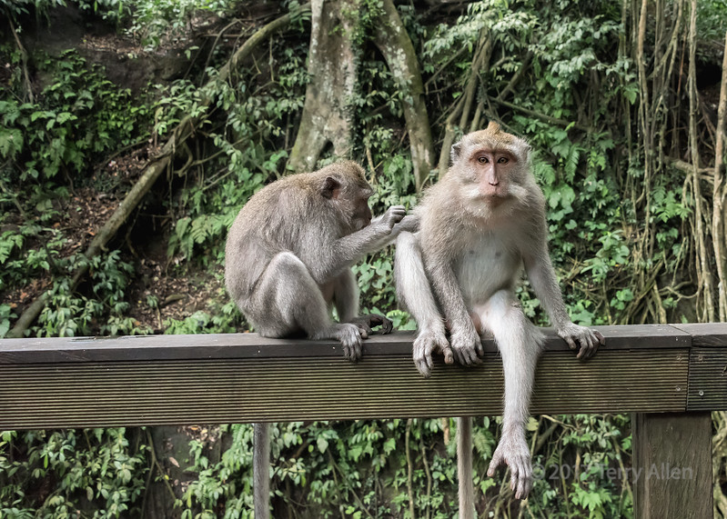 Grooming session, Balinese long-tailed macaques, Monkey Forest, Ubud, Bali