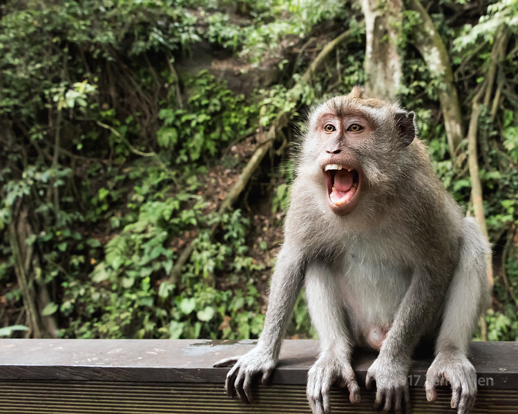 O sole mio, crab-eating macaque (Macaca fascicularis) in full voice, Sacred Monkey Forest Sanctuary, Ubud, Bali