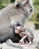 Baby crab-eating macaque (Macaca fascicularis) next to its mother, Monkey Forest, Ubud, Bali