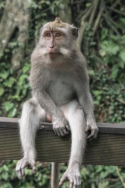 Fence-sitting, Balinese long-tailed macaque, Monkey Forest, Ubud, Bali