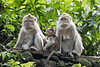 Crab-eating macaques, two females and a baby, Monkey Forest, Ubud, Bali