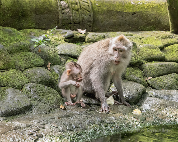 Crab-eating female macaque talking to baby, Monkey Forest, Ubud, Bali