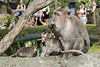 Mother and baby monkey eating corn with tourists, Monkey Forest, Ubud, Bali