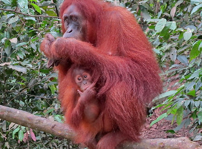 Where To See Orangutangs In Indonesia, image copyright Russ Brooks