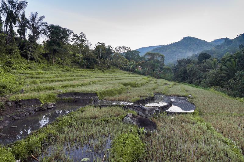Rice terraces in the early mroning near Moni, East Nusa Tenggara, Indonesia