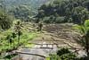 Water-filled rice terraces at planting time, near Detusoko, East Nusa Tenggara, Indonesia