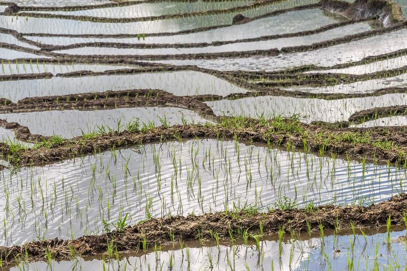 New rice shoots growing in water-filled paddies, near Kelimutu National Park, East Nusa Tenggara, Indonesia