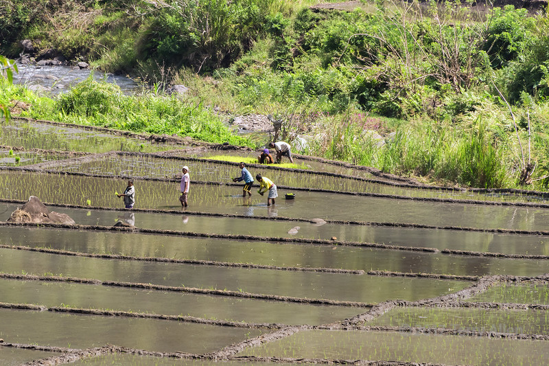 Rice planting time, near Detusoko, East Nusa Tenggara, Indonesia