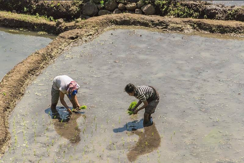 Couple planting rice shoots, near Detsuoko, East Nusa Tenggara, Indonesia