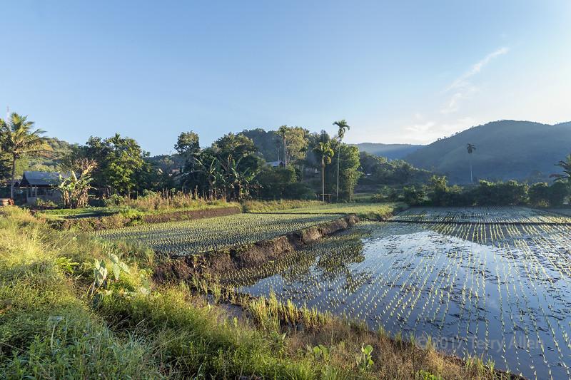 New rice crop