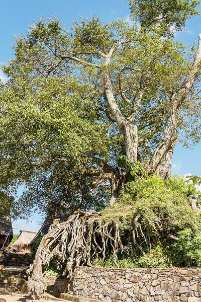 Ancient ficus tree near the entrance to Saga megalithic village (Lio tribe), Detusoko, East Nusa Tenggara, Indonesia