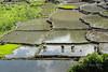 Planting rice shoots in water-filled paddies, near Detsuoko, East Nusa Tenggara, Indonesia