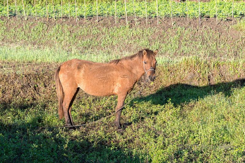 Tethered horse and shadow, Moni, East Nusa Tenggara, Indonesia