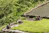 Man and woman harvesting rice seedlings for planting in water-filled paddies, near Detusoko, East Nusa Tenggara, Indonesia